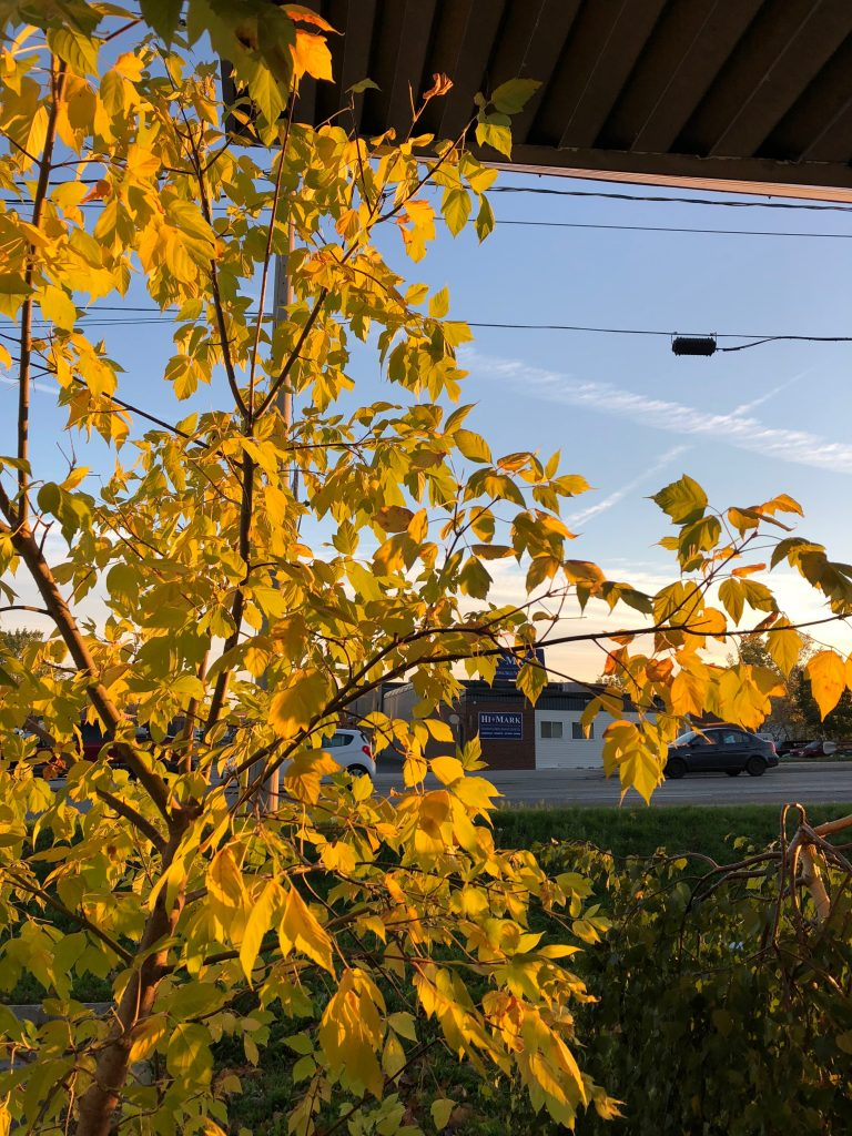 Beautiful morning light, yellow leaves in Cambridge Ontario